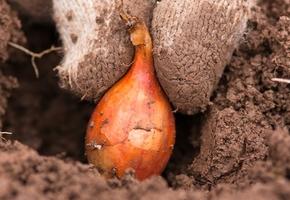 В Лидском районе иностранный инвестор собирается выращивать лук. Предприятию выделят 50 гектаров земли