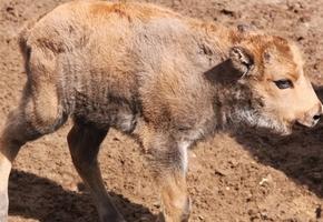 Позитивчик: в зоопарке в День Независимости под звуки салюта родился зубрёнок