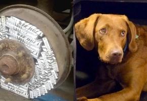 Польская пограничная собака Астра унюхала белорусские сигареты в тормозной системе автомобиля