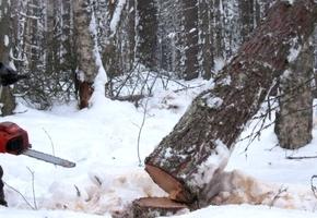 При валке леса произошёл несчастный случай. Молодой парень получил тяжёлые травмы и скончался в реанимации