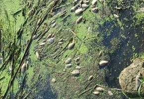 Стало понятно, кто виноват в гибели рыбы в Дитве, — и это... Лидское ЖКХ