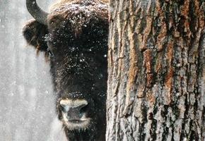 Жизнь убитого в Гродненской области браконьером зубра оценили в 400 базовых