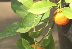 В Лиде научились выращивать экзотические фрукты