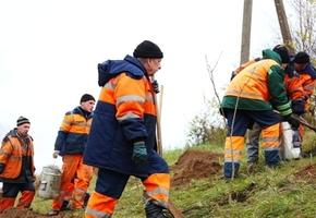 Вдоль загородных дорог активно высаживают деревья. План на 2 года — 12 километров