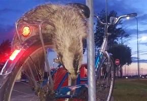 Велосипедисту, который перевозил на багажнике мёртвого барсука, грозит 4 года