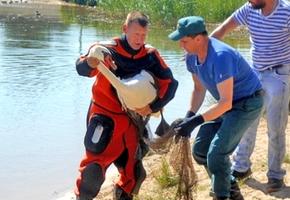 Лебеди на городском озере нуждались в помощи специалистов. Одну из птиц забрали ветеринары