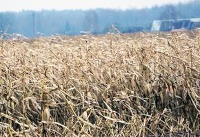 В Лидском районе проезжающий мимо водитель заметил поле неубранной кукурузы