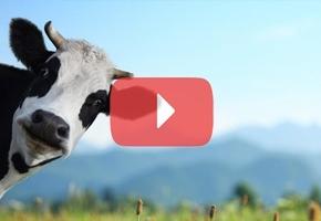 Под Липнишками водитель обнаружил стадо коров-зомби