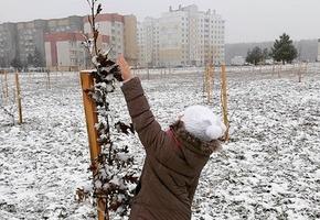 4100 молодых деревьев высадят строители в компенсацию за застройку микрорайона Север